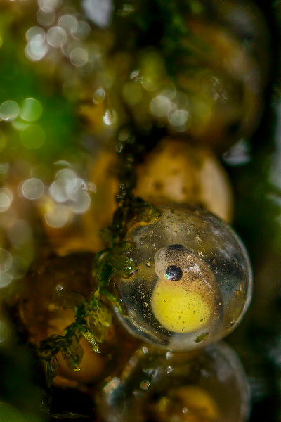 Growing in a capsule - Bush frog egg