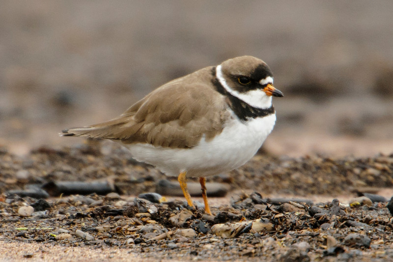 Plover - Semi-palmated - Park Point - Duluth, MN