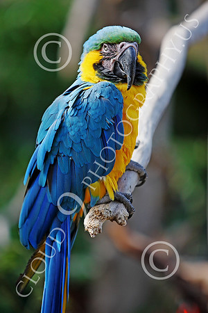 Blue-and-Yellow Macaw Wildlife Photography