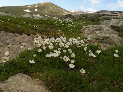 Greek Mountain Flora