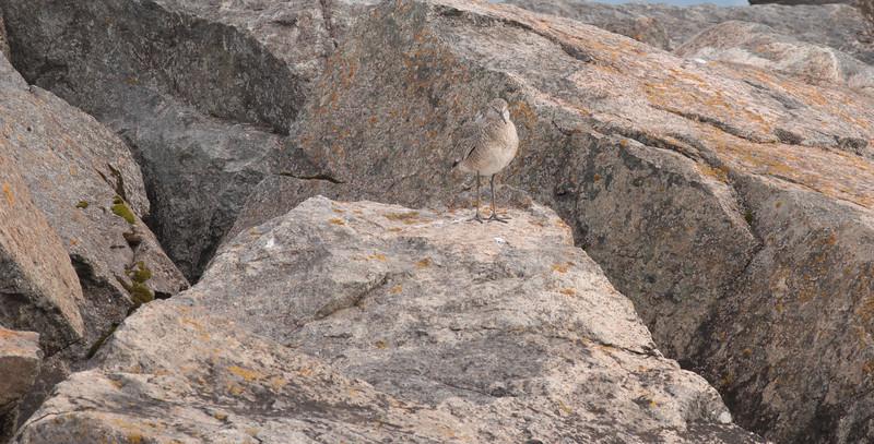 Willet on rocks breakwall Lake Superior Wisconsin Point Superior WI DSC07703.jpg