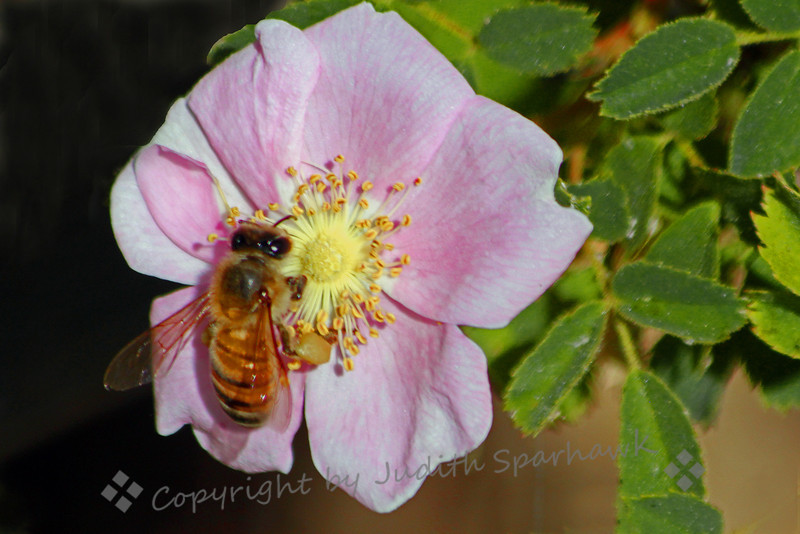 Honeybee on Wild Rose ~ I love wild roses, and can even remember their beautiful spicy scent from when I was four years old.  Clearly this honeybee feels the same way;  it couldn't seem to get enough, buzzing from one rose to the next.