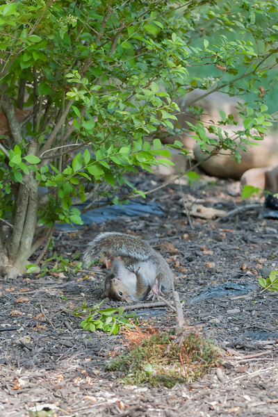 Grey squirrel wrestling with branch