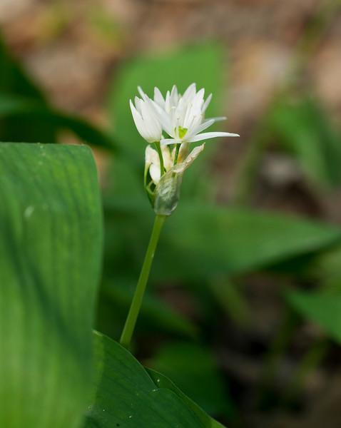 The wild garlic flower