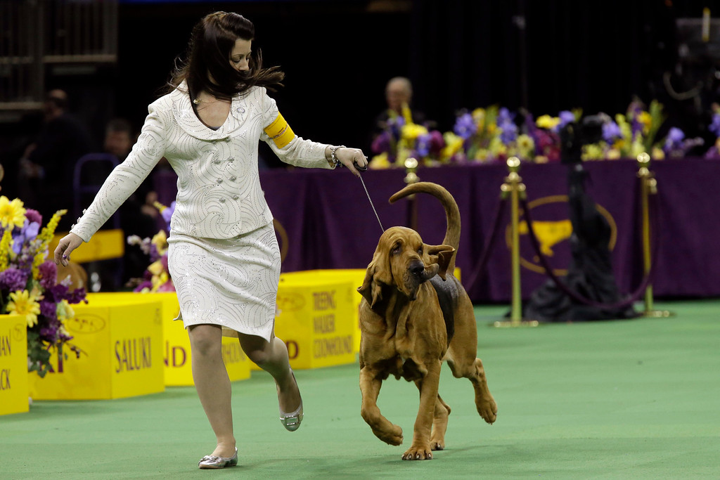 . Nathan, a bloodhound, is shown in the ring during the hound competition at the Westminster Kennel Club dog show, Monday, Feb. 16, 2015, at Madison Square Garden in New York. (AP Photo/Mary Altaffer)