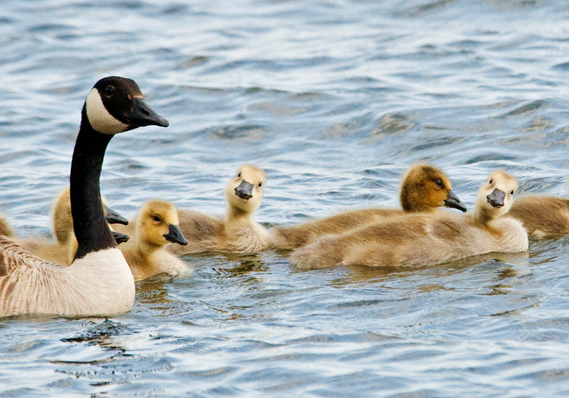 Goose - Canada - family - Trout Lake - Bovey, MN - 02
