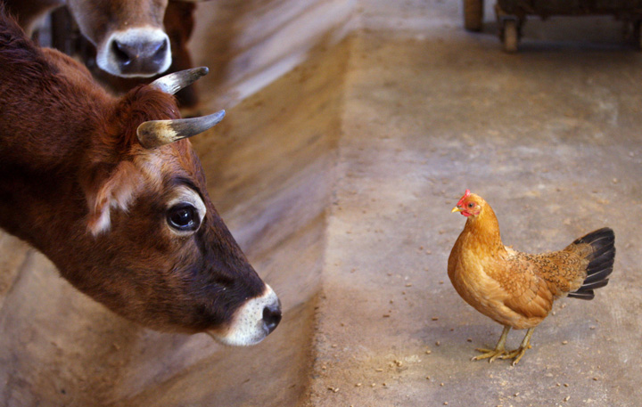 . A Jersey cow stares down a chicken in the milking parlor of a farm near Winchester, Va. (AP Photo/The Winchester Star, Scott Mason)