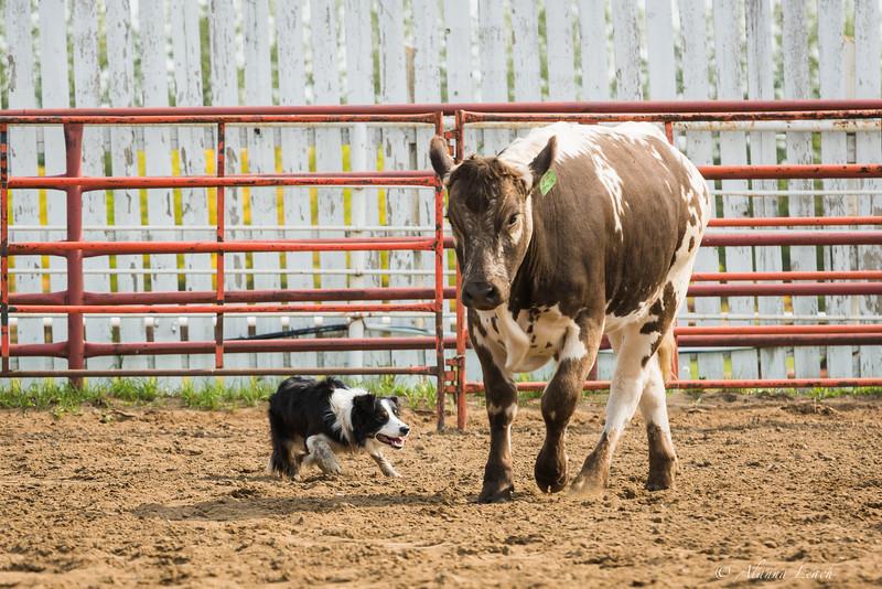 Lloydminster Ex Cow Dog Trial