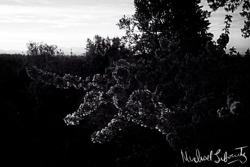 ml.sunset tree branch bw