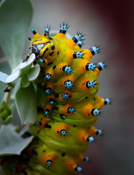 Calleta Silkmoth (Caterpillar)- Eupakardia calleta
