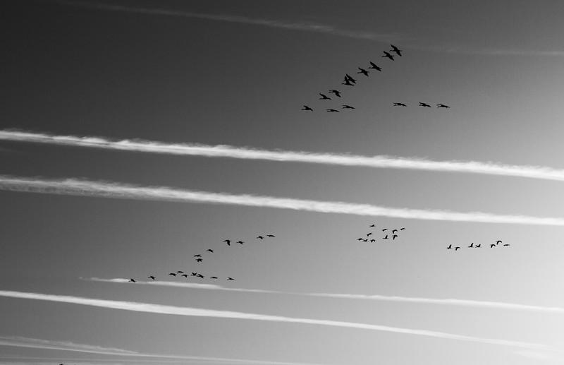 Sandhill Crane flock flying flight Sherburne National Wildlife Refuge Sherburne County MNIMG_1689.jpg