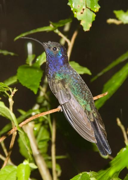 Costa Rica_Humming Birds-2.jpg