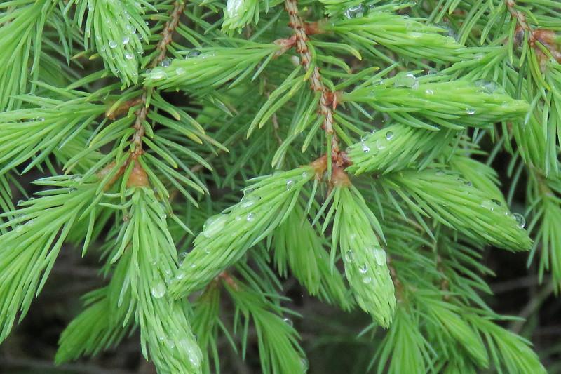 new pine growth.jpg
