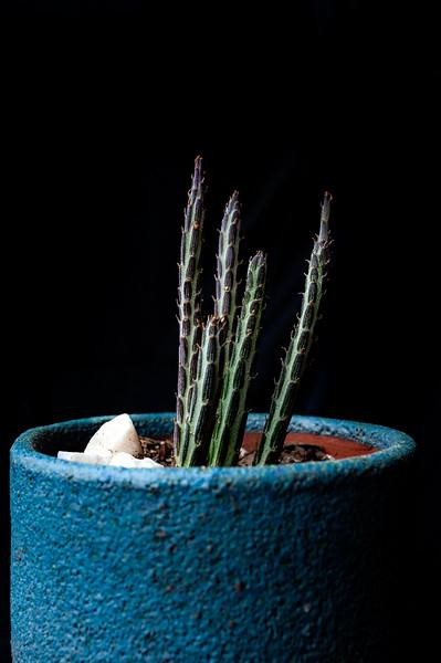 pencil cactus-7655.jpg