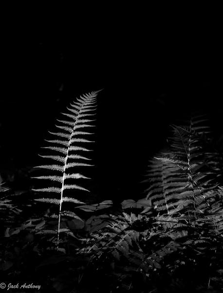 20100706-fern b x w_4488.jpg