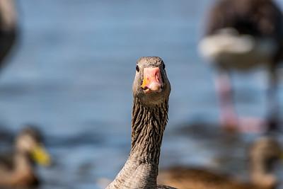 Greylag Goose [Anser anser]