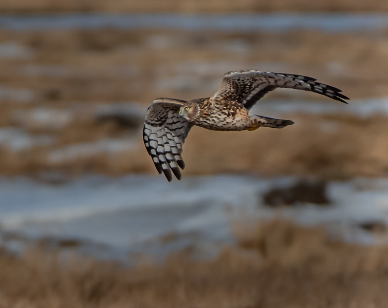 "Northern Harrier - ""That face!"""