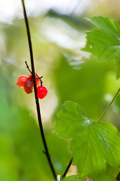 Red Berries, Cambridgeshire