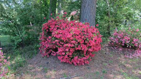April 12:  Tracking the azaleas, spireas .  .  .