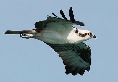 Kalasääski (Pandion haliaetus)