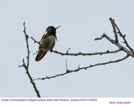 Costa's Hummingbird M85344.jpg