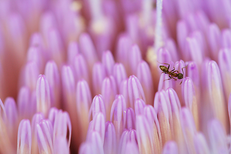 8931 Ant on Artichoke Blossom.jpg