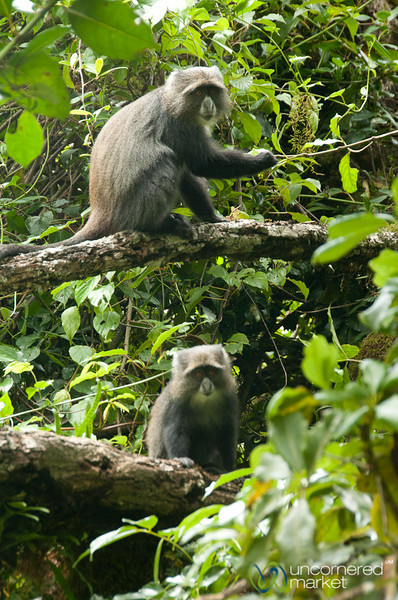 Colobus Monkeys in Rainforest - Mt. Kilimanjaro, Tanzania