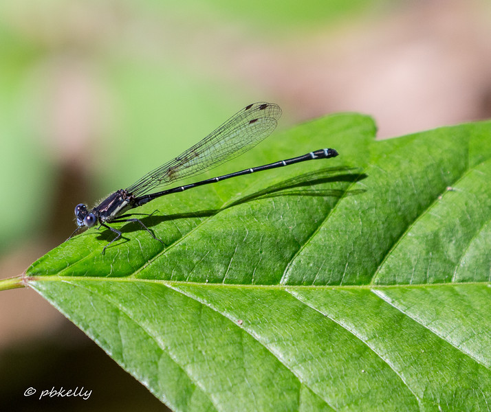 The next few shots are Dusky Dancer,  Argia translata.  This is not a common species, and I think this is the first time I have seen them.