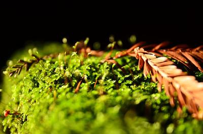 Oakland Redwoods of Joaquin Miller