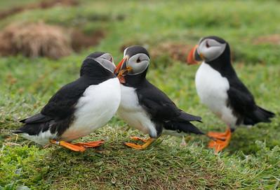 Puffins Courtship