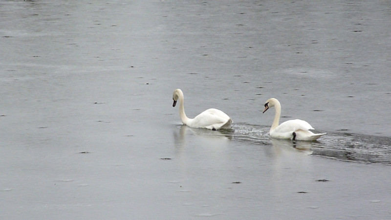 Video Swans and Ice 2010-02-01.MTS