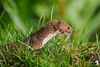 A curious and nervous Weasel