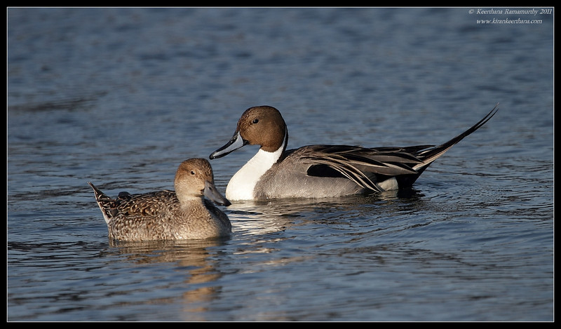 Northern Pintail pair, Bolsa Chica Ecological Reserve, Orange County, California, February 2011