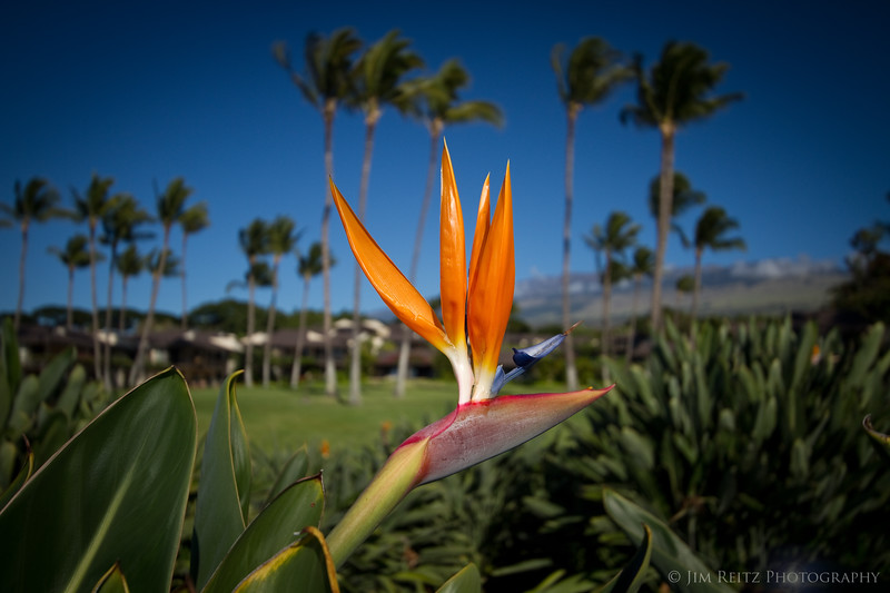 Bird-of-paradise flower, with our condos in the background.