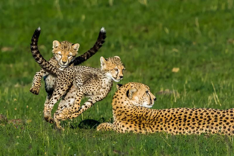 Cheetahs-0221.jpg