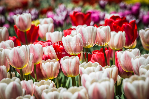 Tulips at Longwood Gallery - 27 Apr 2014
