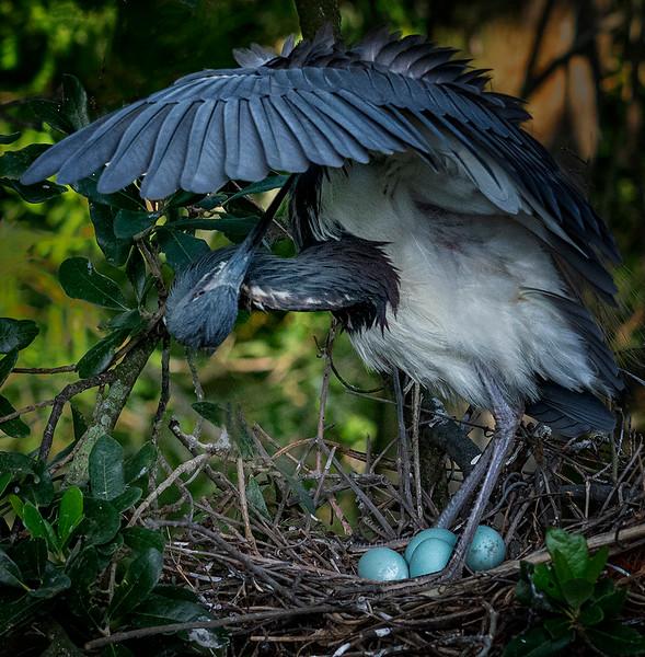 Preening Heron - Harvey Augenbraun