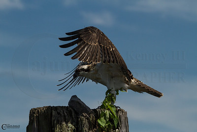 The Ospreys on The 4th of July