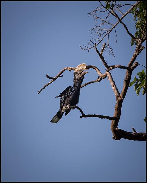 Silvery-cheeked hornbill, Lake Manyara NP