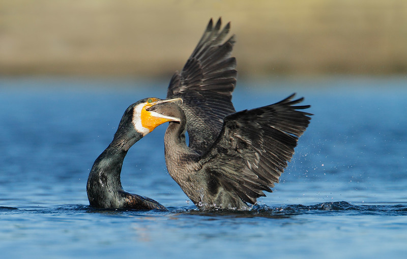 Great Cormorant feeding 1 MASTER.jpg