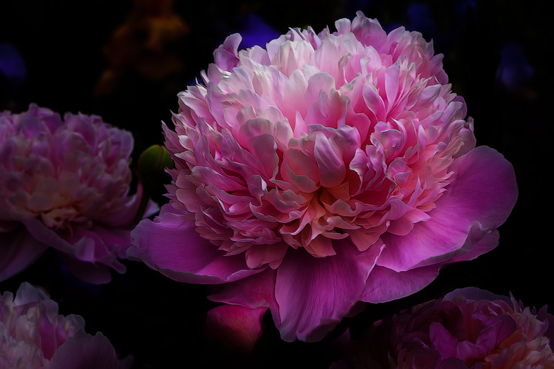 OUR PEONIES-2016-0326-Edit.jpg