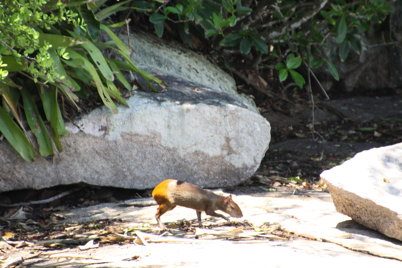 Cotea rodent