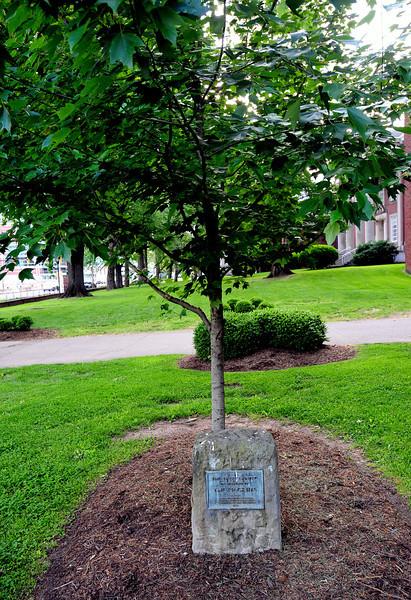 pilgrim tree4947.jpg