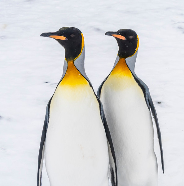 Penguins_King_Fortuna_South Georgia-4.jpg