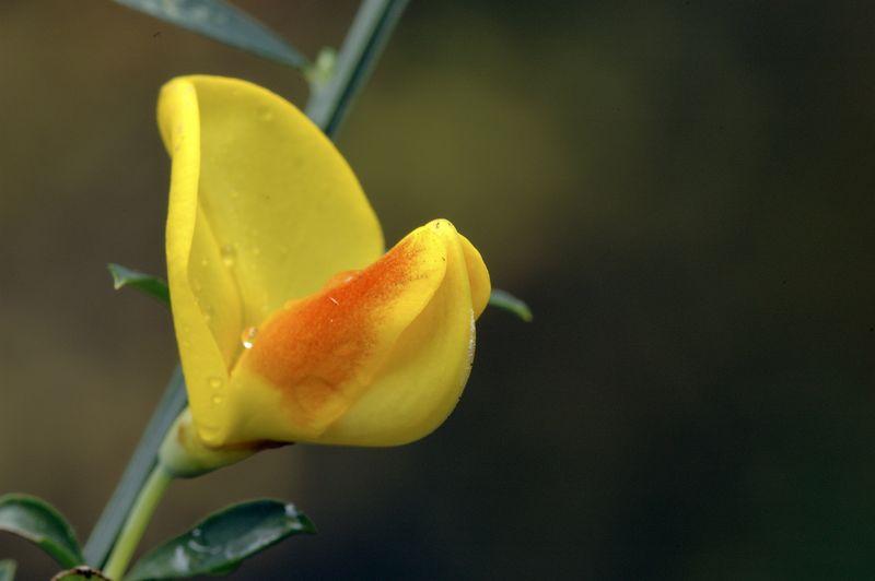 Broom flowering on November