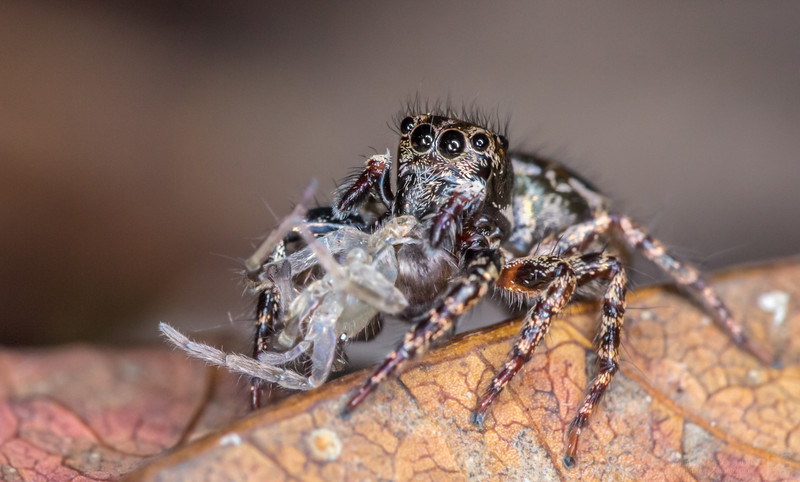 Jumping spider with a meal