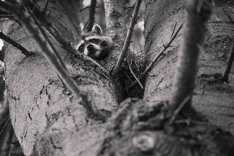 While walking along a sidewalk I overheard a crow in this tree cawing incessantly. Looking up into the tree I noticed this raccoon who seemed to be sleeping between the enormous tree limbs.