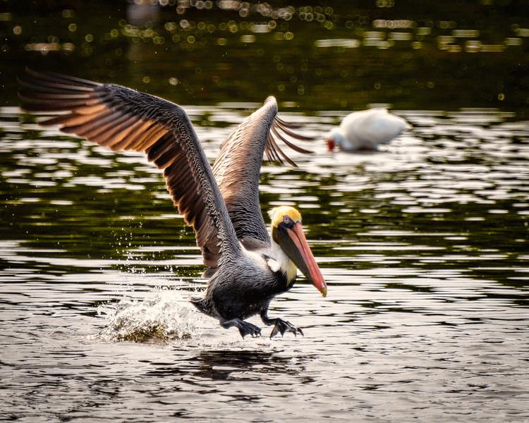 Peli_takeoff-0686LUM.jpg