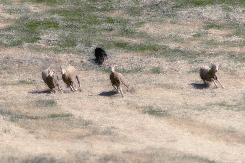 Sheepdog Trials 9-.jpg