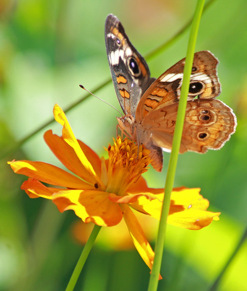 Common buckeye 756